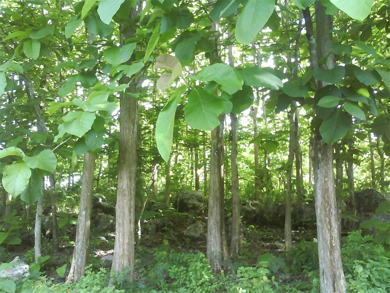 Indonesian teak tree plantation